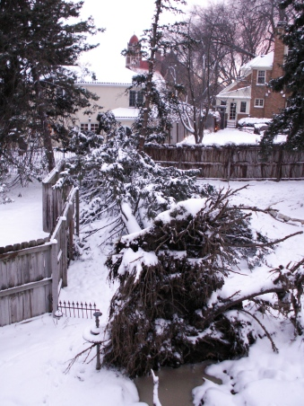 The uprooted pine, the stripped pine and to the left of the tip of the tree, the neighbor's damaged fence. January 1, 2007.