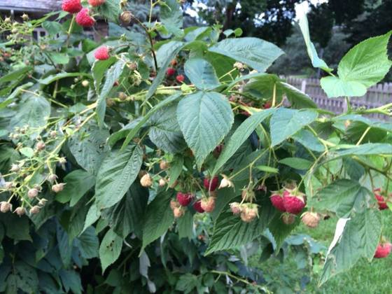 Raspberries on the plant