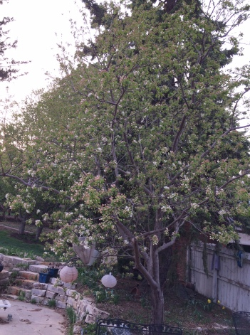 crabapple tree in bloom