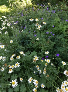Daisies and cranesbill